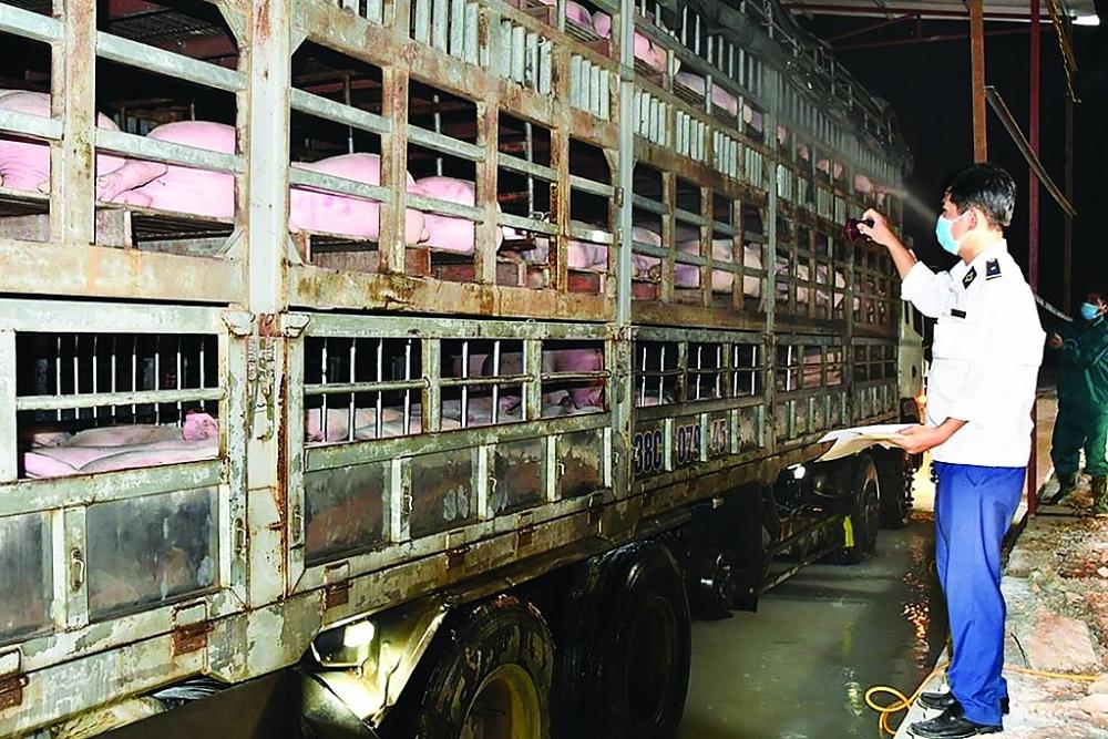 Khi chăn nuôi trong nước đảm bảo nhu cầu, Bộ NN&PTNT sẽ thông báo việc dừng NK lợn sống từ Thái Lan cho DN trước 1 tháng. Ảnh: Nguyễn Thanh