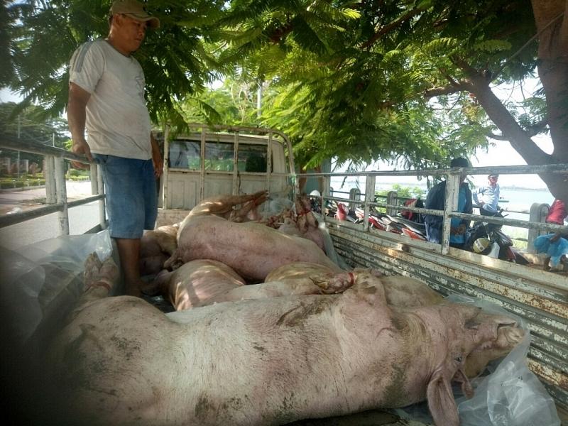 Đề nghị sớm chấm dứt nhập lậu lợn, sản phẩm từ lợn vào Việt Nam