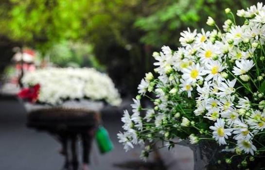 Mùa này, hoa cúc