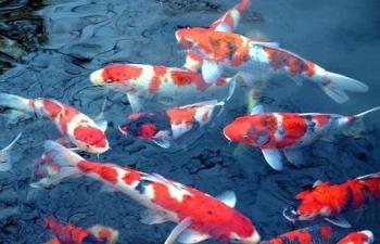 Kẻo mắc lỗi với ông Công ông Táo khi cúng cá Koi Nhật Bản thay cá chép