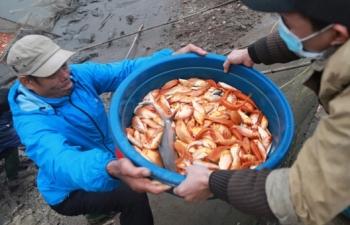 Hối hả làng nuôi cá chép đỏ Thuỷ Trầm trước ngày ông Công ông Táo