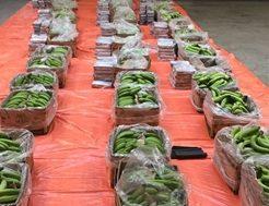 250 kg cocaine trong nhung thung chuoi