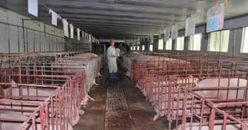 """Giá lợn """"hạ nhiệt"""" nhưng vẫn ở mức cao trong khu vực"""