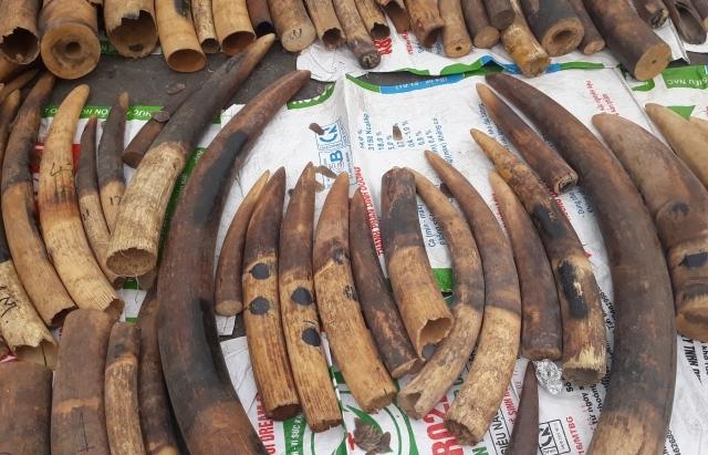 Hải Phòng: 5 năm bắt giữ hơn 18 tấn ngà voi, vảy tê tê