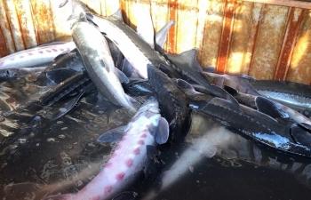 Tiêu hủy 400 kg cá tầm nhập lậu từ Trung Quốc