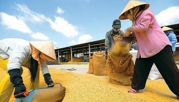 Giá lúa gạo đã có nhiều chuyển biến tích cực