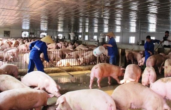 Sản xuất thương mại vắc xin dịch tả lợn châu Phi vào đầu quý 3/2021