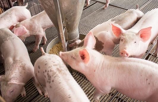 Đề nghị cả gia trại giảm giá lợn xuống 70.000 đồng/kg