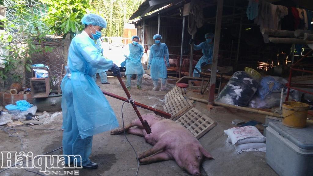 Nguy cơ tái phát dịch tả lợn châu Phi tại nhiều địa phương rất lớn