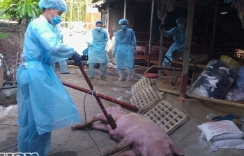 TPHCM xuất hiện ca dịch tả lợn châu Phi đầu tiên tại quận 9