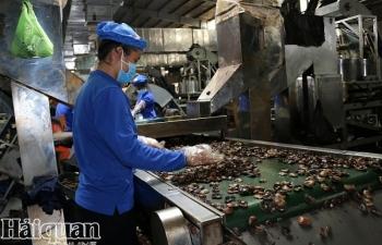 Kiểm soát chất lượng điều nguyên liệu bằng tiêu chuẩn cho hạt điều thô