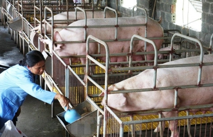 """Bán chạy Dịch tả lợn châu Phi, giá lợn hơi ầm ầm """"lao dốc"""""""