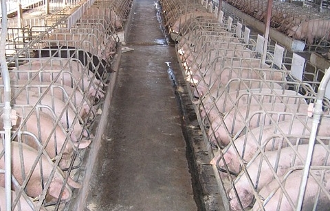 Giá lợn tăng cao do thiếu thông tin về nguồn cung