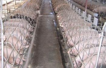 Đàn lợn tại các địa phương giảm