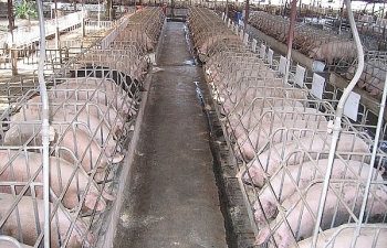 Lợi nhuận Dabaco giảm mạnh do dịch tả lợn châu Phi