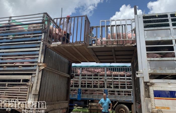 Lô hàng 1.000 con lợn thịt đầu tiên nhập khẩu qua cửa khẩu Bờ Y