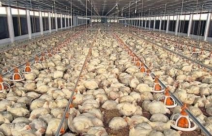 Giá gà rẻ hơn rau, người nuôi đốt bỏ hàng triệu con gà giống