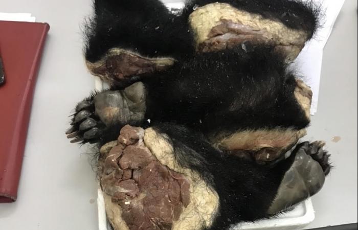Một phụ nữ bị bắt giữ khi đang vận chuyển tay chân gấu đi tiêu thụ