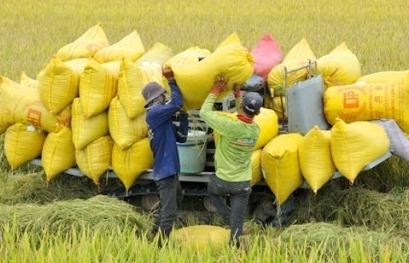 Kiến nghị mua lúa vào kho dự trữ quốc gia để ổn định thị trường