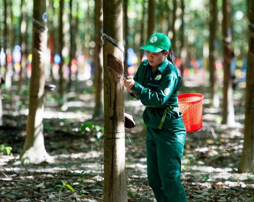 Nâng cao nhận thức về phát triển bền vững cho các nhà sản xuất cao su thiên nhiên Việt Nam