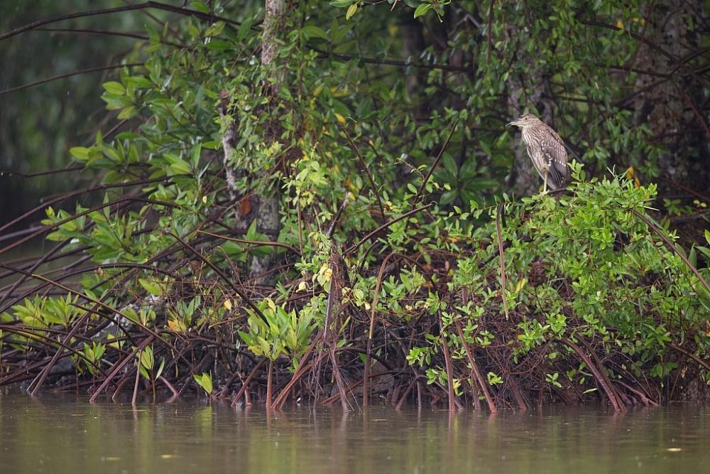 Một góc vườn quốc gia Mũi Cà Mau