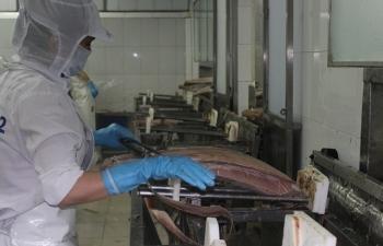 Cá ngừ Việt Nam chiếm lĩnh thị trường Hà Lan