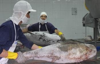 Xuất khẩu cá ngừ sang Italia tăng đột biến