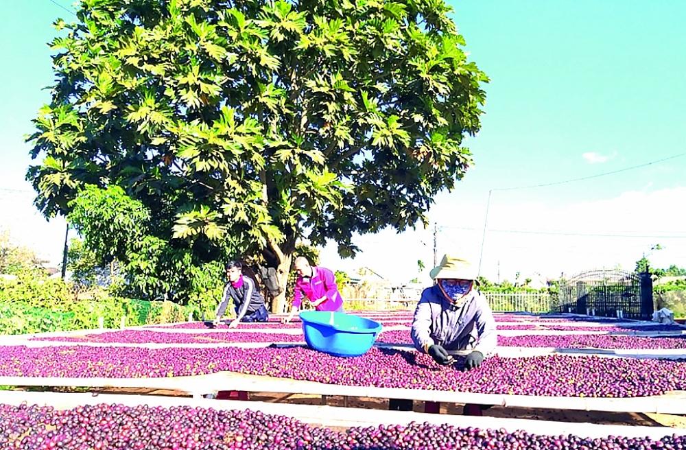 Trong số 39 chỉ dẫn địa lý của Việt Nam được EU cam kết bảo hộ khi EVFTA chính thức đi vào thực thi có chỉ dẫn địa lý về cà phê. Đây là lợi thế cạnh tranh rất lớn cho ngành cà phê Việt Nam với các đối thủ tại thị trường EU. Ảnh: N.Thanh