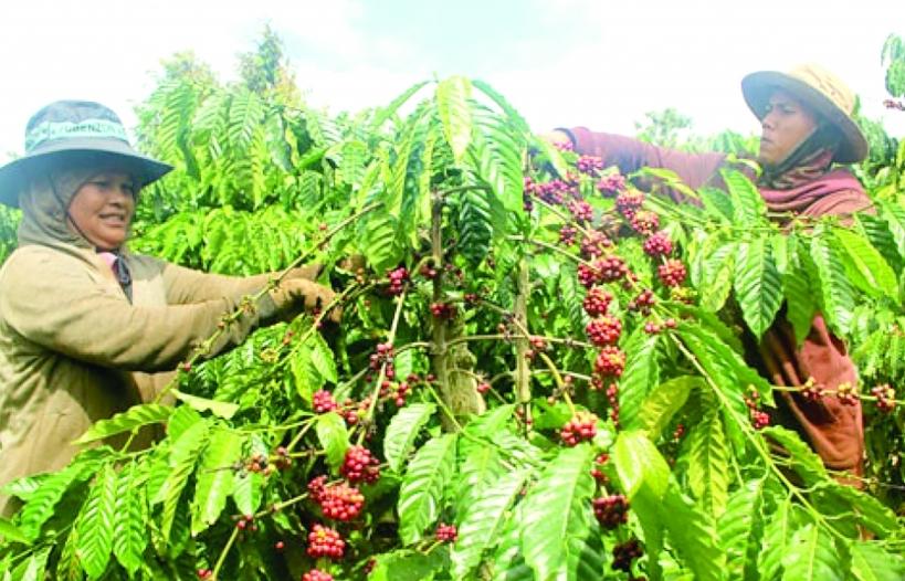Tồn kho giảm, xuất khẩu cà phê lạc quan