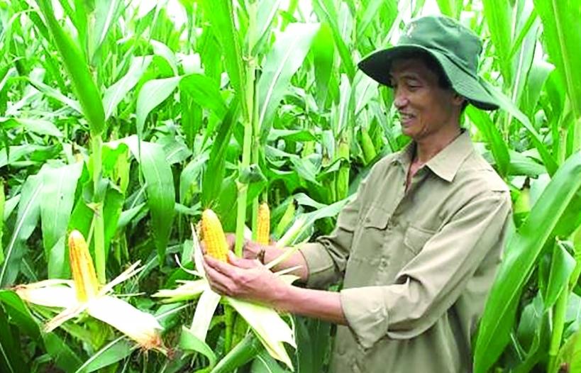 """Cây trồng biến đổi gen- Lời giải cho """"bài toán"""" nguyên liệu thức ăn chăn nuôi?"""