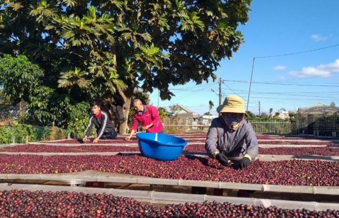 Xuất khẩu cà phê sụt giảm, giá tiếp tục lao dốc