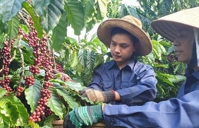 Tăng chế biến nhằm nâng giá trị hạt cà phê Việt Nam