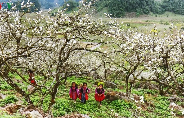 Hoa mận bung sắc phủ trắng cao nguyên Mộc Châu