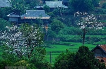 Đất trời Điện Biên ngập tràn trong sắc hoa ban tháng 3