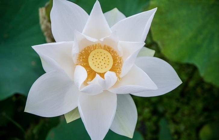 Ngẩn ngơ trước vẻ đẹp của đầm sen trắng tại Hà Nội