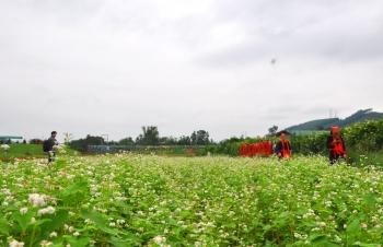 Mùa hoa tam giác mạch ở Hoành Bồ