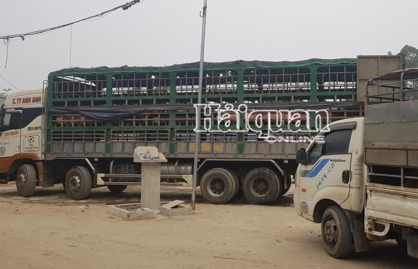 Tự ý tiêu thụ 400 con lợn nhập khẩu chưa qua kiểm dịch, một DN bị Hải quan khởi tố