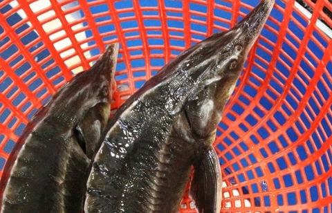 Kiểm soát hoạt động nhập khẩu, kinh doanh cá tầm