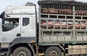 Phát hiện 2 xe chở 342 con lợn chưa qua kiểm dịch