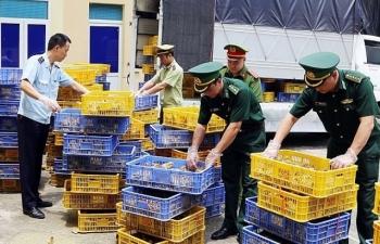 Hải quan Bắc Phong Sinh phối hợp bắt, tiêu hủy 22.000 con gà giống