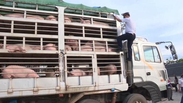 Không có chuyện gian lận thủ tục nhập khẩu lợn qua cửa khẩu Lao Bảo