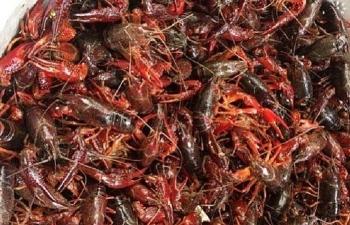 Hải quan Móng Cái phát hiện thu giữ 24 kg tôm càng đỏ