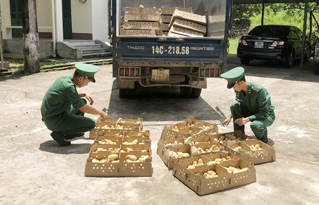 Thu giữ 5.600 con gà giống nhập lậu
