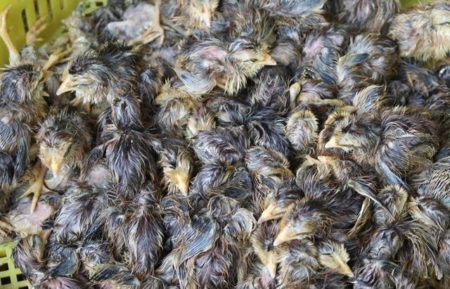 Dùng bè xốp vận chuyển hơn 10.000 con gà giống nhập lậu
