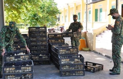Móng Cái: Thu giữ gần 11.000 con gà giống nhập lậu