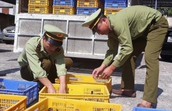 Hải Dương: Tiêu hủy 4.000 con gà giống nhập lậu từ Trung Quốc