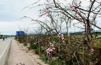 Đào rừng rẻo cao Điện Biên nhộn nhịp xuống phố đón Tết
