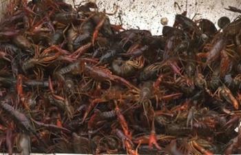 Tổng cục Hải quan yêu cầu tăng cường kiểm soát loài ngoại lai tôm càng đỏ
