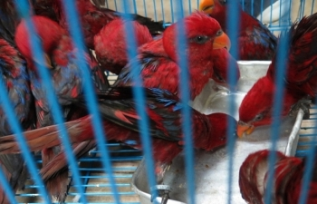 Cận cảnh những cá thể vẹt Lory đỏ nhập không phép về sân bay quốc tế Nội Bài
