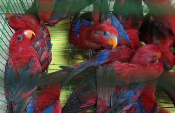 Hơn 300 cá thể Vẹt Lory đỏ nhập không phép đã được bàn giao cho kiểm lâm